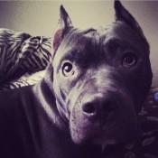 #Nuna #amstaff #dog #blue #bluestaffy #ast#lovelyd